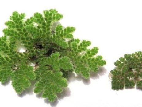 ประโยชน์ของ แหนแดง อะซอลล่า ไมโครฟินล่า พืชไนโตรเจนสููง